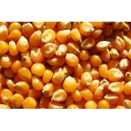 Kukurydza ziarno